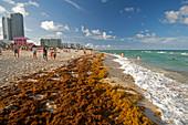 Rafts of brown seaweed