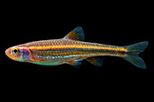 Rainbow Shiners (Notropis chrosomus)