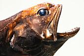 Deep-Sea Swallower