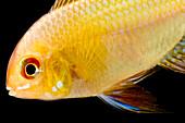 Golden Ram Cichlid (Microgeophagus ramirezi)