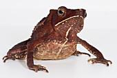 Crested Toad (Rhinella margaritifera)
