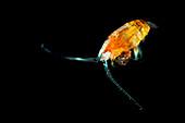 Mesopelagic copepods