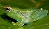 Pygmy Hatchet-faced Treefrog (Sphaenorhynchus carneus)