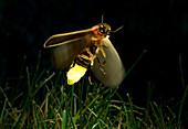 Firefly in Flight