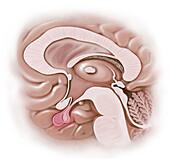 Pituitary Gland, Illustration