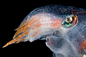 Diaphanous Pelagic Octopod (Japetella diaphana)