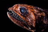 Deep-Sea Snaketooth (Pseudoscopelus sp.)