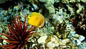 Klein's Butterflyfish (Chaetodon kleinii)