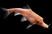 Golden-Line Barbel (Sinocyclocheilus furcodorsalis)