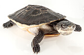 Lesser Toad-headed Turtle (Mesoclemmys gibba)