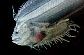 Cusk-eel (Lamprogrammus niger)