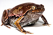 Bassler's Humming Frog (Chiasmocleis bassleri)