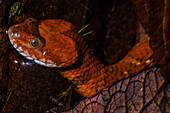 Brown-banded Watersnake or Mountain Keelback (Helicops angulatus)