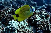 Millet Butterflyfish (Chaetodon miliaris)