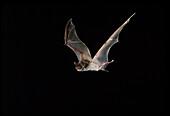 Wagner's bonneted bat (Eumops glaucinus)