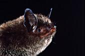 Indiana myotis (Myotis sodalis)