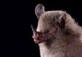 Dwarf little fruit bat (Rhinophylla pumilio)