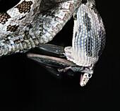 Gray Ratsnake Eats Myotis Bat