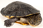 Greater Toad-headed Turtle (Mesoclemys raniceps)