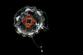 Deep-Water Jellyfish (Atorella cf octogonos)