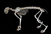 Lynx Skeleton