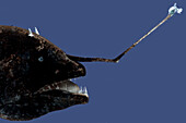 A Dreamer, Oneirodidae