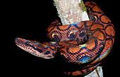 Rainbow Boa, Epicrates cenchria