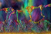 Vitamin B3, Polarized and Dark Field Micrograph