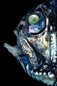 Sladen's Hatchetfish, Argyropelecus sladeni