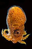 Male Paper Nautilus or Argonaut (Argonauta argo)