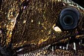 Dragonfish (Astronesthes richardsoni)