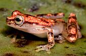 Miyata's Treefrog (Dendropsophus miyatai)