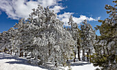 Pines in Snow, Mt. Lemmon