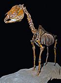 Equus occidentalis, Horse