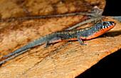 Red-bellied Root Lizard (Loxopholis parietalis)