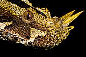 Gaboon Viper (Bitis nasicornis)