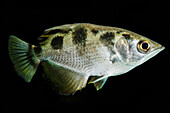 Banded Archerfish (Toxotes jaculatrix)