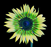 Sunflower in Simulated Bee Vision