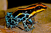 Amazonian Poison Frog, Ranitomeya ventrimaculata