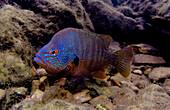 Male Ozark Longear Sunfish (Lepomis megalotis)
