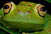 Eye-ring Bush Frog (Boana cinerascens)