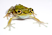 Purplish Treefrog (Boana nympha)