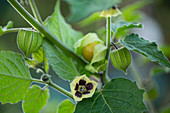 Physalis on a plant with flowers