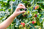 Hand of a young child picking ripening blackberries off a bush