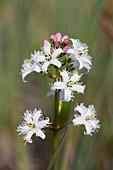 Blütenstand vom Fieberklee