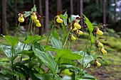 Frauenschuh-Orchideen am Naturstandort