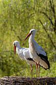 Weißstorch-Paar im Nest