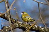 Grünfink, Grünling, Männchen auf Ast