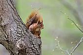 Rotes Eichhörnchen am Baum