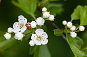Marienkäfer an Blüten vom eingriffeligen Weißdorn